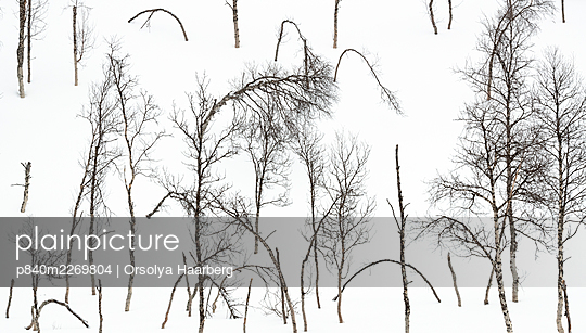 Bare Mountain birch (Betula pubescens) forest in snow. Near Narvik, Nordland, Norway. March. - p840m2269804 by Orsolya Haarberg