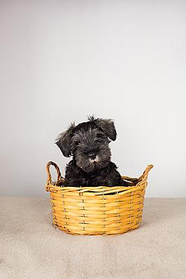 Puppy Schnauzer - p1623m2283723 by Donatella Loi