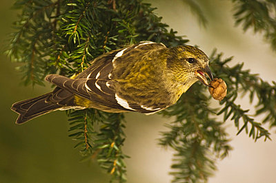 An Adult Female White-Winged Crossbill (Loxia Leucoptera) Uses Its Specialized Bill To Feed On The Seeds Of Conifer Trees; Alaska United States Of America - p442m748589f by Brian Guzzetti