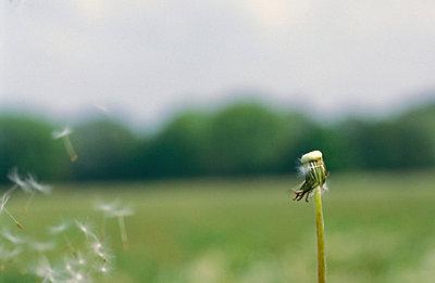 Gepustete Pusteblume - p1080138 von Thomas Kummerow