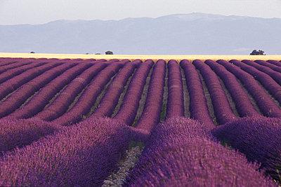 Lavendelfelder in der Provence - p1468m1527654 von Philippe Leroux