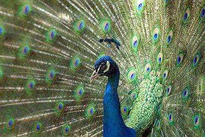 A peacock sweden - p5752393f by Stefan Ortenblad