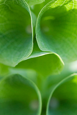 Bell shaped leaves - p6241060f by Michele Constantini