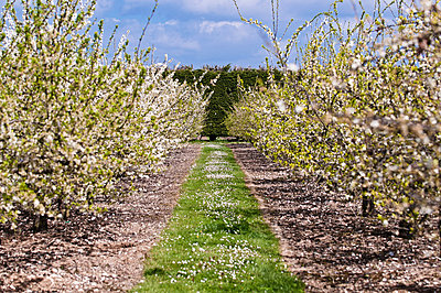 Apple trees in blossom in orchard - p92411813f by Gary Latham
