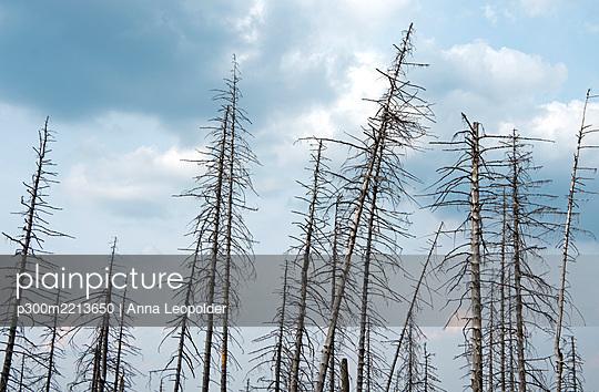 Germany, Saxony-Anhalt, Harz, Forest dieback by bark-beetles - p300m2213650 by Anna Leopolder