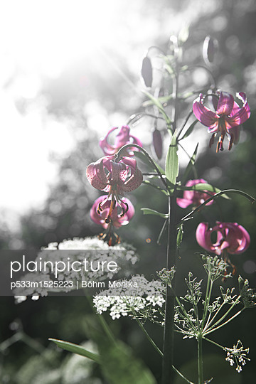 Martagon lily - p533m1525223 by Böhm Monika