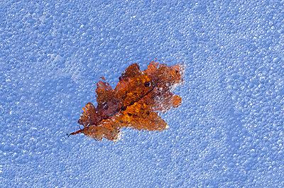 Autumn Oak Leaf on Rainy Glass Pane - p1562m2254544 by chinch gryniewicz