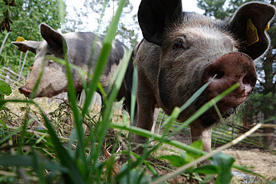 Neugieriges Linderö-Schwein II - p235m877593 von KuS