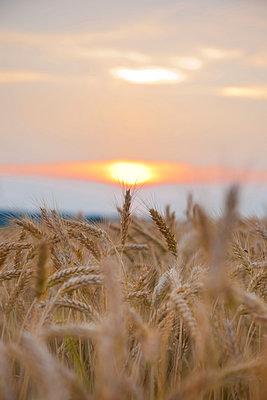 Wheat field at sunset - p533m1068414 by Böhm Monika