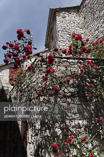 Rosenstrauch an einer Hausmauer - p046m1200689 von Hexx