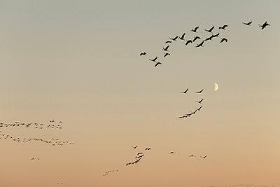 Kraniche am Abendhimmel - p745m891645 von Reto Puppetti