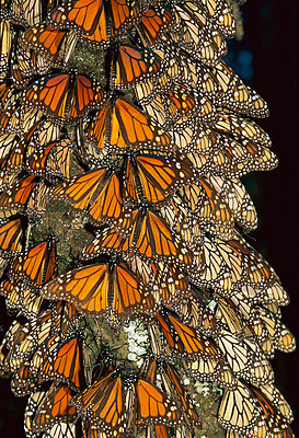 Monarch butterfly cluster - p8845227 by Thomas Marent