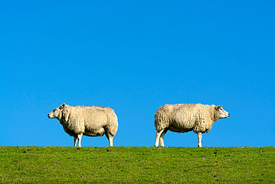 Two sheep - p1132m949265 by Mischa Keijser