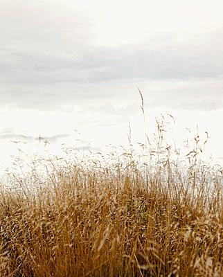 Gräser an der Nordsee - p382m1540194 von Anna Matzen