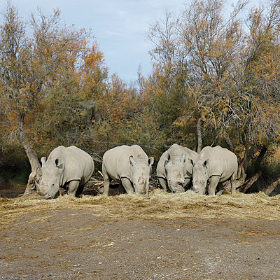 Safari park in Sigean, Rhinos - p1105m2145175 by Virginie Plauchut