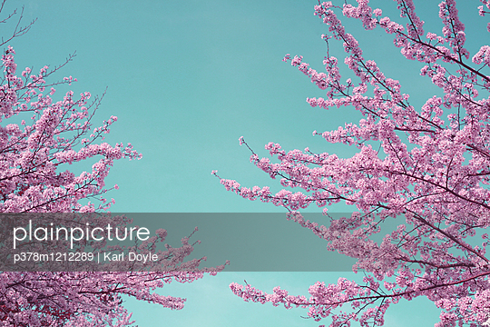 Pink tree - p378m1212289 by Karl Doyle