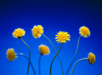 Low angle view of Dandelions - p3484189 by Magnus Schönberg