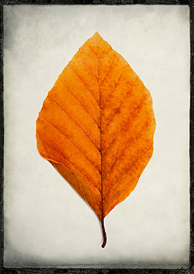 One leaf in studio - p813m1016173 by B.Jaubert