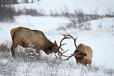 Two bull elk (Cervus canadensis) sparring in the snow, Jasper National Park, Alberta, Canada, North America - p871m1073302f by James Hager