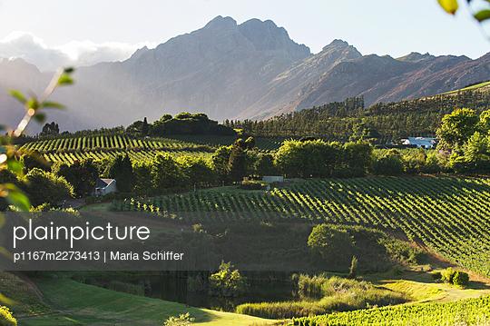 Africa, Vineyard - p1167m2273413 by Maria Schiffer