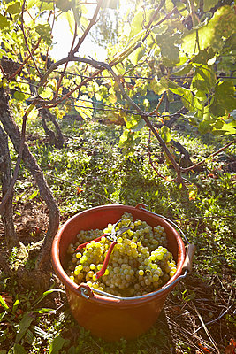 Grape gathering - p1272m1083369 by Steffen Scheyhing