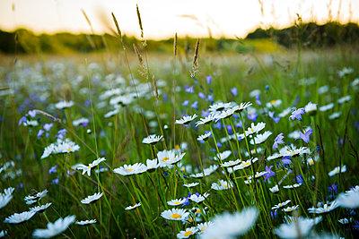Blumenwiese im Abendlicht - p1273m2141966 von Melanka Helms