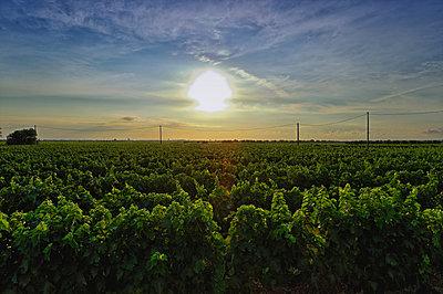 Vineyard;  Veglie;  Lecce;  Puglia;  Italy - p429m860131f by Costantino Costa
