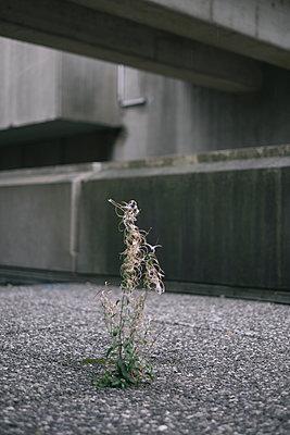 Kleine Pflanze wächst zwischen Platten eines Gehwegs - p586m960606 von Kniel Synnatzschke
