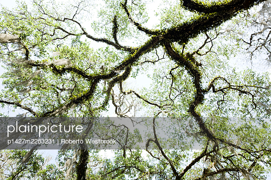 Oak tree, low angle view - p1427m2283231 by Roberto Westbrook