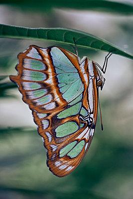 Schmetterling auf einem Blatt - p1696m2296537 von Alexander Schönberg