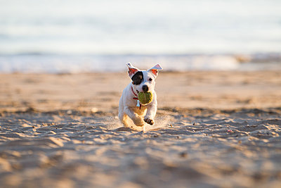 Jack russell running on beach - p429m1494462 by Gonçalo Barriga