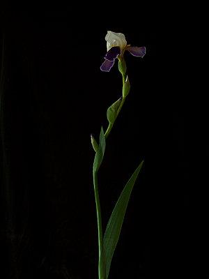 Dalmatian iris  - p444m1041385 by Müggenburg