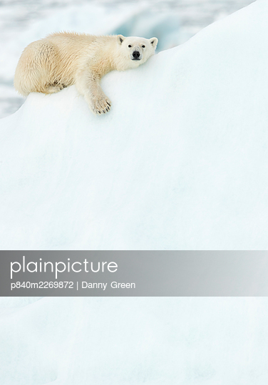 Polar bear (Ursus maritimus) resting in snow. Svalbard, Norway, July. - p840m2269872 by Danny Green