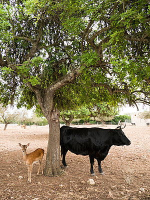 Stier und Reh - p1021m2020388 von MORA