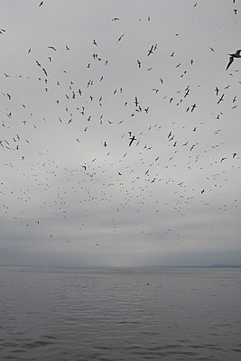 Flock of seagulls flying over the sea  - p1612m2223675 by Heidi Coppock-Beard