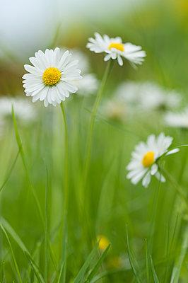 Daisies blooming in meadow - p300m2078944 von Claudia Rehm