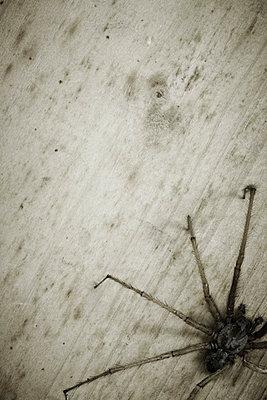 Hausspinne - p4150576 von Tanja Luther