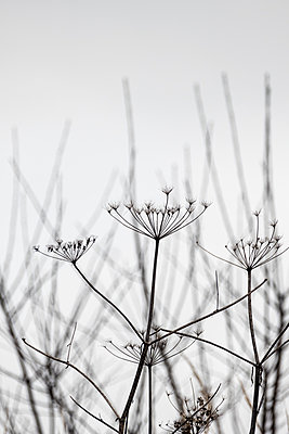 Dried up umbels - p739m1196399 by Baertels