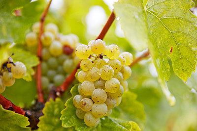 Weintrauben - p1272m1333308 von Steffen Scheyhing