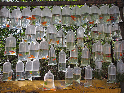 Goldfishes for sale - p338m971705 by Marion Beckhäuser