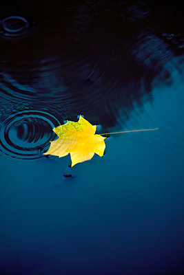 Leaf in Puddle with Rain Ripples  - p1248m2223148 by miguel sobreira