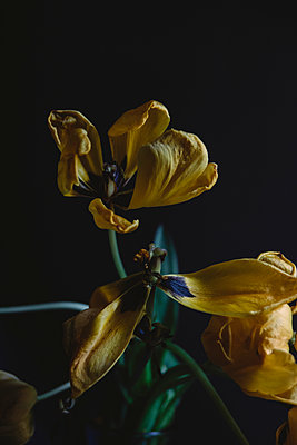 Withered Tulip - p1262m1082810 by Maryanne Gobble
