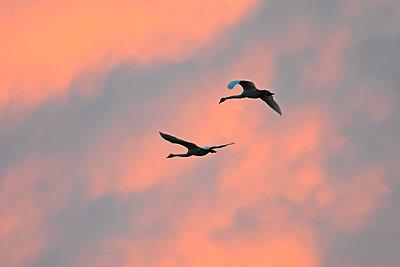Zwei Singschwäne fliegen in den Abendhimmel - p235m2021741 von KuS
