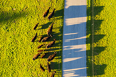 Germany, Bavaria, Upper Bavaria, Alpine foothills, Wackersberg, Aerial view of herd of cows, country road - p300m2084042 by Martin Siepmann