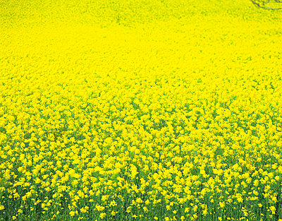 Rapeseed field in bloom stage. Yokohama-machi - p5143122f by GYRO PHOTOGRAPHY