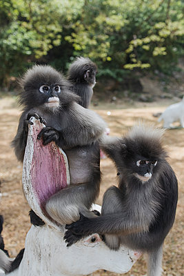 Thailand, Spectacled leaf monkeys in the bay near Ao Manao - p728m2230471 by Peter Nitsch