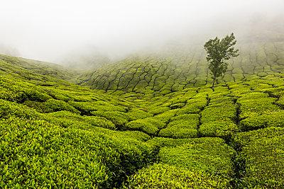 Teeplantage - p1271m2055325 von Maurice Kohl