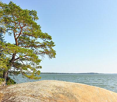 Pine on island - p322m989621 by Kimmo von Lüders