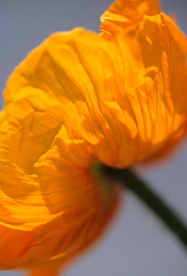 Close up of delicate bright yellow Poppy - p3490615 by Jan Baldwin