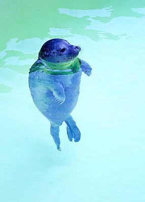 Kleiner Seehund im Becken - p606m1564842 von Iris Friedrich